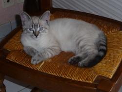 Jessy, chat Siamois