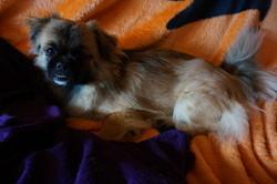 Jessy, chien Épagneul tibétain