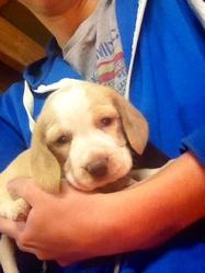 Jessy, chien Beagle