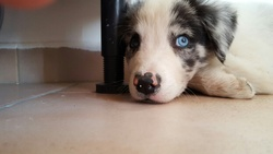 Jessy, chien Border Collie