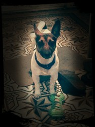 Jessy, chien Jack Russell Terrier