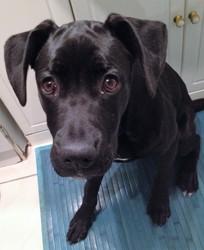 Jessy, chiot Labrador Retriever