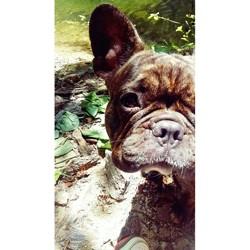 Jessy, chien Bouledogue français