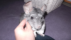 Jessy, rongeur Chinchilla