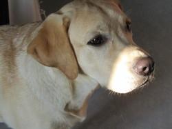 Jett, chien Labrador Retriever