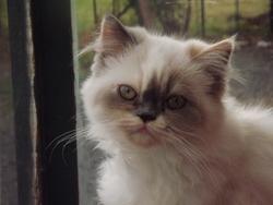 Jewane, chat Persan