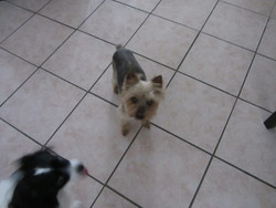 Jewel, chien Yorkshire Terrier