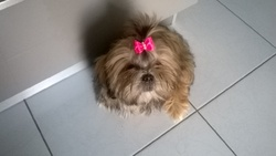 Jewel, chien Shih Tzu