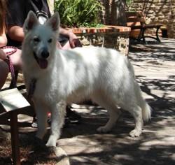 Jewel Du Diamant Des Neiges, chien Berger blanc suisse