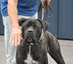Jewel Jasper Dechen Dite 'Jasper', chien Cane Corso