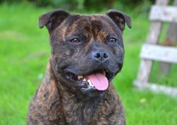 Jeywood Boy, chien Staffordshire Bull Terrier