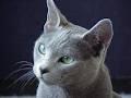 Jiamia, chat Bleu russe