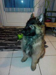 Jianguo, chien Berger belge