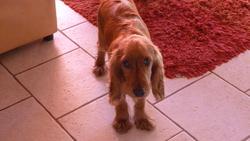Jibus, chien Cocker anglais