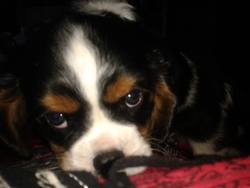 Jiby, chien Cavalier King Charles Spaniel