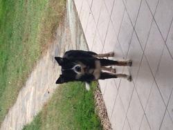 Jicky, chien Border Collie