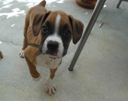 Jiga, chien Boxer