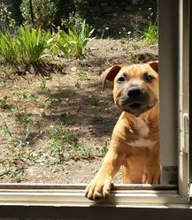 Jigsaw , chien American Staffordshire Terrier