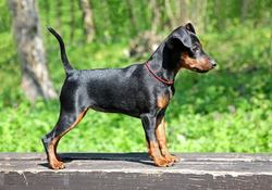 Jihan, chien Dobermann