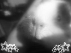 Jiji, rongeur Cochon d'Inde
