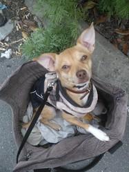 Jilbo, chien Chihuahua