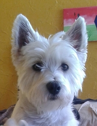 Jilie, chien West Highland White Terrier