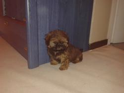 Jilly, chien Shih Tzu
