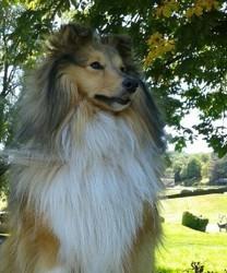 Jim, chien Berger des Shetland