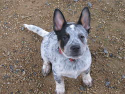 Jim, chien Bouvier d'Australie