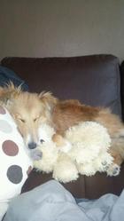 Jimiko, chien Berger des Shetland