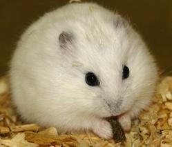 Jimini, rongeur Hamster