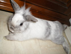 Jimmy, rongeur Lapin