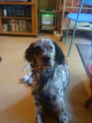 Jimmy, chien Setter anglais