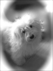 Jimmy, chien Coton de Tuléar