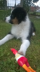 Jimmy, chien Berger australien