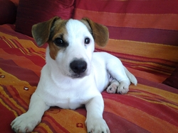 Jimmy, chien Jack Russell Terrier