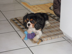 Jimmy, chien Cavalier King Charles Spaniel