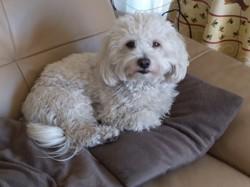 Jimmy, chien Bichon maltais