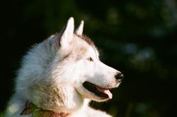 Jimmy, chien Husky sibérien