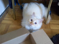 Jimmy Chou, chat Birman