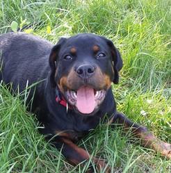 Jin, chien Rottweiler