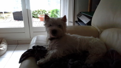 Jina, chien West Highland White Terrier
