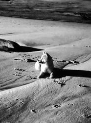Jina, chien Shiba Inu