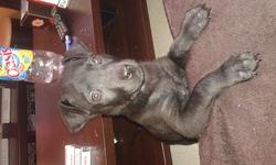 Jina, chien Cane Corso