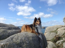 Jingle, chien Berger des Shetland