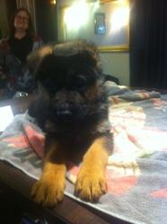 Jingo, chien Berger allemand