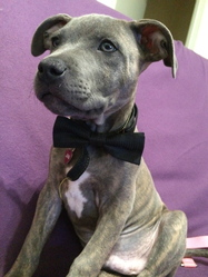 Jini, chien Staffordshire Bull Terrier