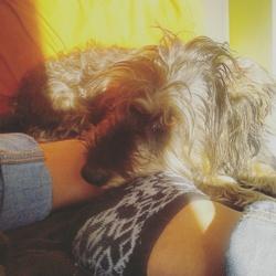 Jinga, chien Teckel