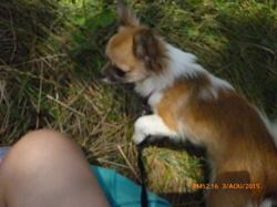 Jinka, chien Chihuahua