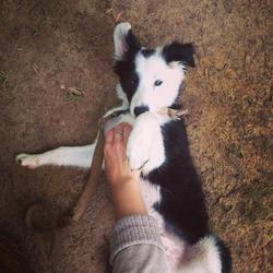Jinko, chien Border Collie